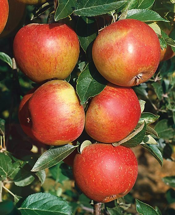 Яблоня Сладкая негаЯблоня Летние сорта<br>Яблоки<br>«медовые», очень сладкие, без кислинки.<br>