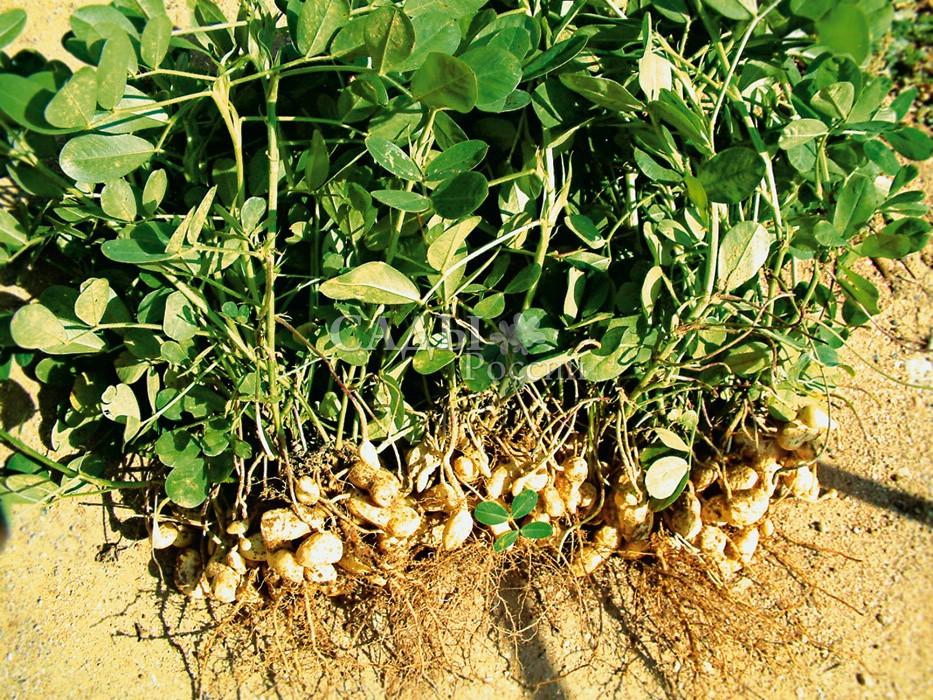 АрахисКомнатные растения<br>Земляной орех. Жителям умеренного российского климата это диво заморское<br>можно вырастить в горшке у себя на окошке.<br>