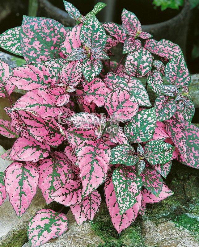 Гипоэстес Розовый горошекКомнатные растения<br>Уютное и нежное небольшое комнатное растение с крупными,<br>до 7—10 см в длину, листьями, усеянными мелким розовым<br>горошком.<br>