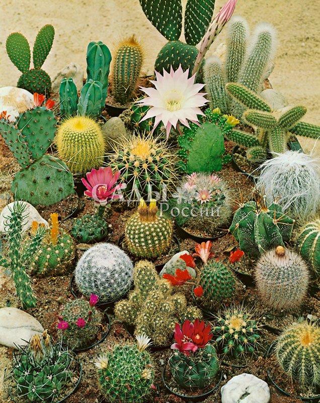 Кактусы Ёжики наборКомнатные растения<br>Удивительный,<br>мудрый и уравновешенный кактус создаёт совершенно неповторимую атмосферу спокойствия и доброжелательности.<br>