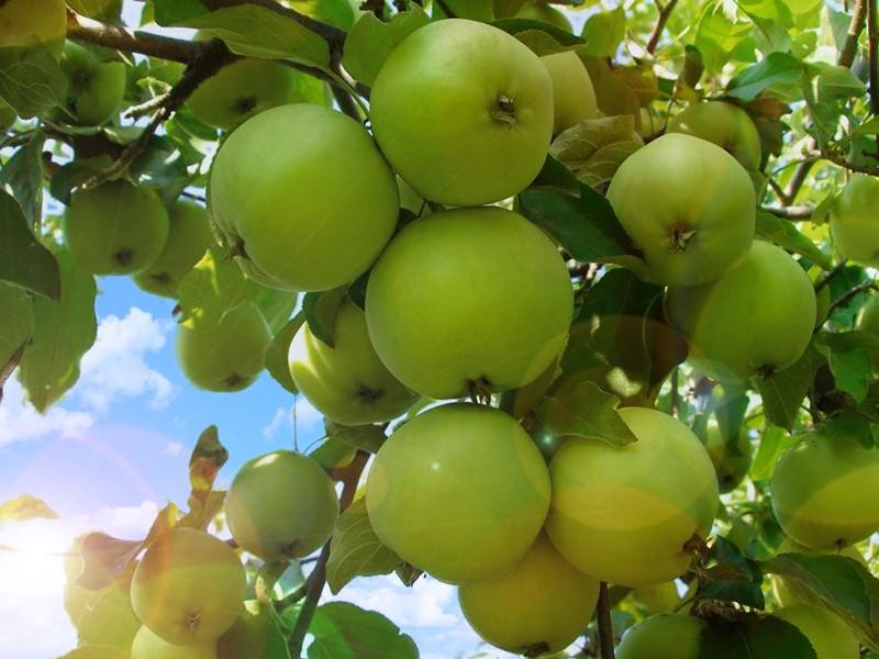 Яблоня СвердловчанинЯблоня Зимние сорта<br>У<br>этого дерева совершенно особенная, легко узнаваемая<br>очень красивая ажурная крона.<br>