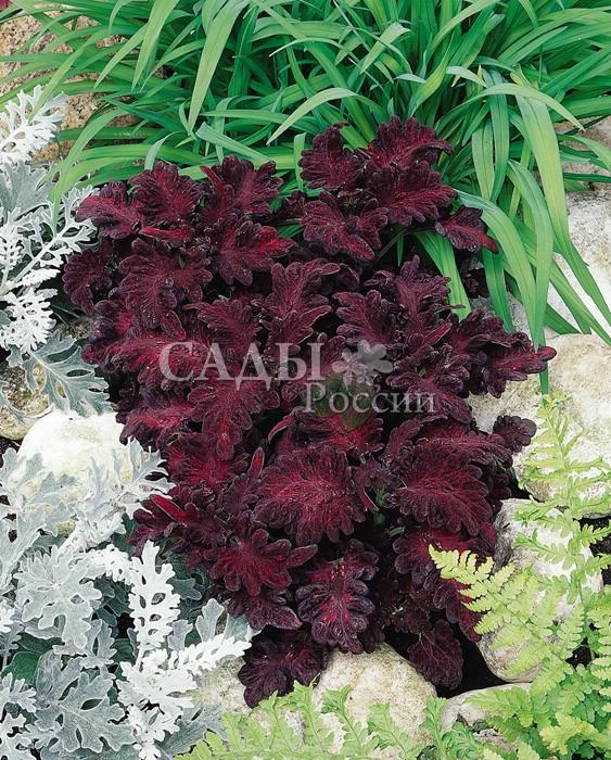Колеус Чёрный драконКомнатные растения<br><br>