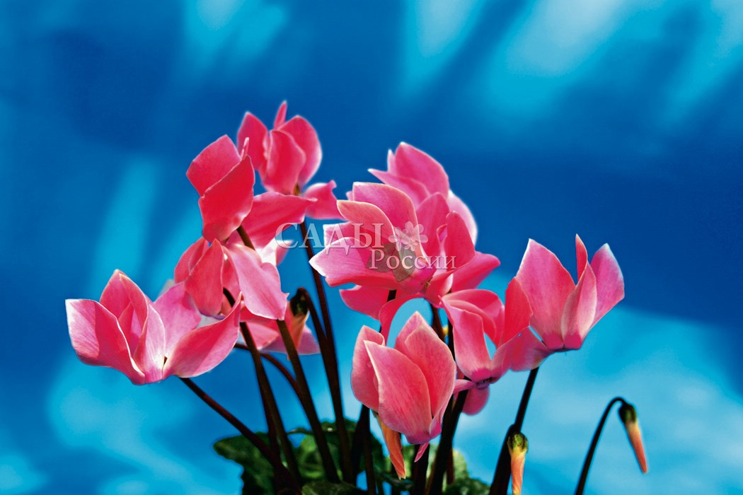 Цикламен Хельга персидскийКомнатные растения<br>Древнескандинавский вариант<br>женского имени Ольга. Растения с нежно-розовыми цветками, более<br>светлыми у основания лепестков и ярким пурпурным глазком. Цветение<br>длительное и обильное.<br>