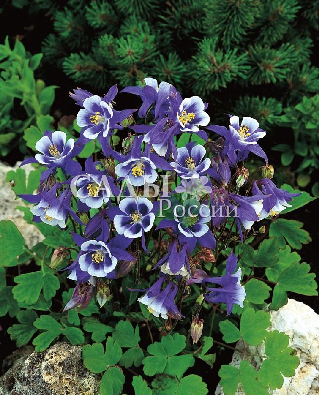 Аквилегия Винки Бело-голубаяМноголетники<br>Восхитительно хороша своими изысканными и элегантными крупными цветками-звёздами с голубыми лучами нижних лепестков и<br>воздушно-белым пятилепестковым цветком в центре.<br>