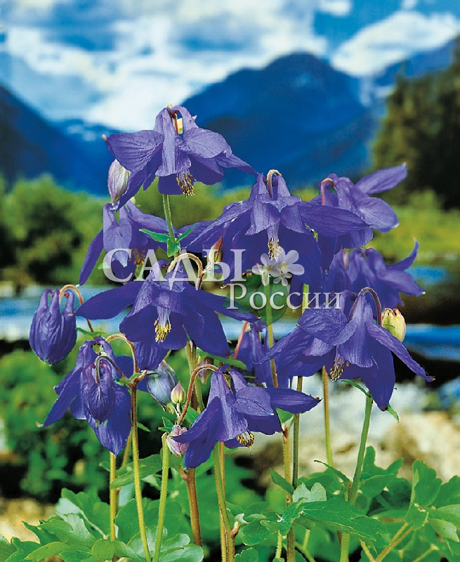 Аквилегия Винки Голубая мечтаМноголетники<br>Цветки крупные небесной голубизны. Высота 80 см.<br>
