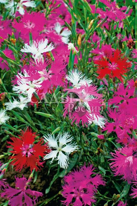 Гвоздика Великолепный розовый набор пышнаяМноголетники<br>Прелесть как хороша эта божественная розовая<br>гармония, от почти белых «фламинго» до насыщенных пурпурно-малиновых оттенков.<br>