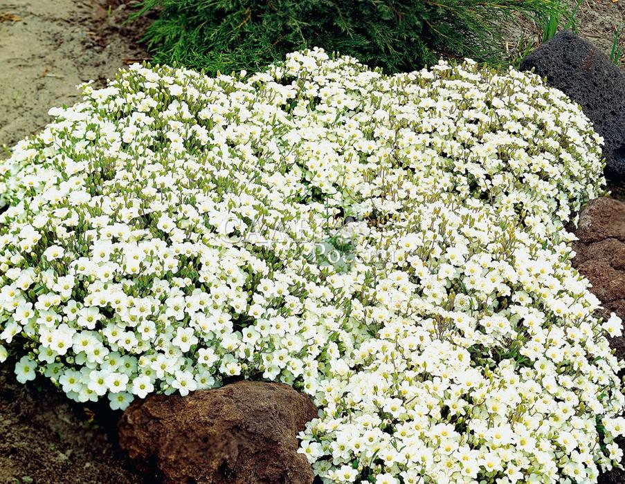 Песчанка горнаяМноголетники<br>Маленькая искусная кружевница укроет каменистые участки сада плотным узором изящных<br>белоснежных цветков 2—3 см в диаметре.<br>