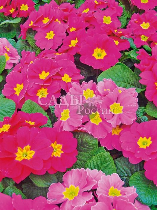 Примула Аккорд Розовая гармонияМноголетники<br>Яркие и выразительные цветки насыщенных розовых оттенков с нежной,<br>слегка жёлтовато-оливковой серединкой.<br>