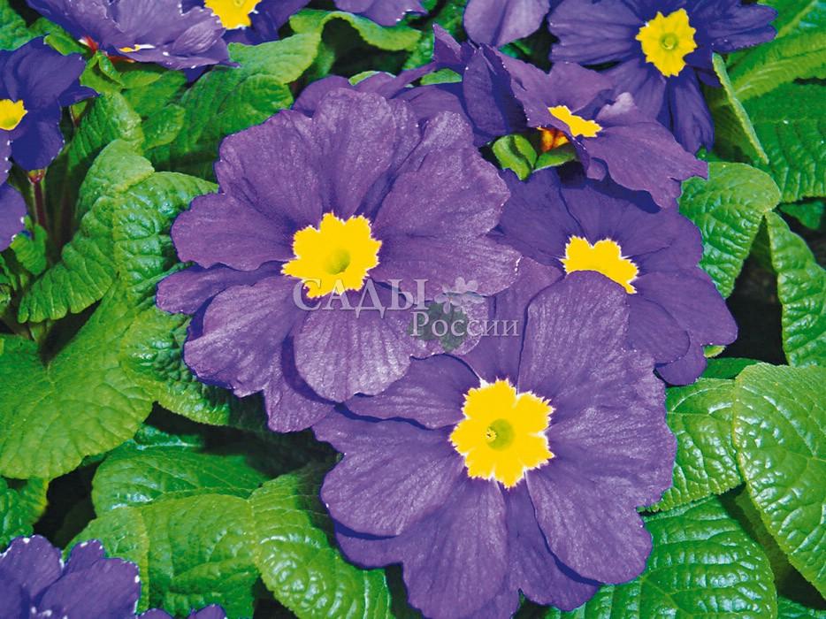 Примула Аккорд Синяя гармонияМноголетники<br>Нарядные сине-голубые цветки с лёгкими лиловыми оттенками и яркой<br>звёздочкой в центре.<br>