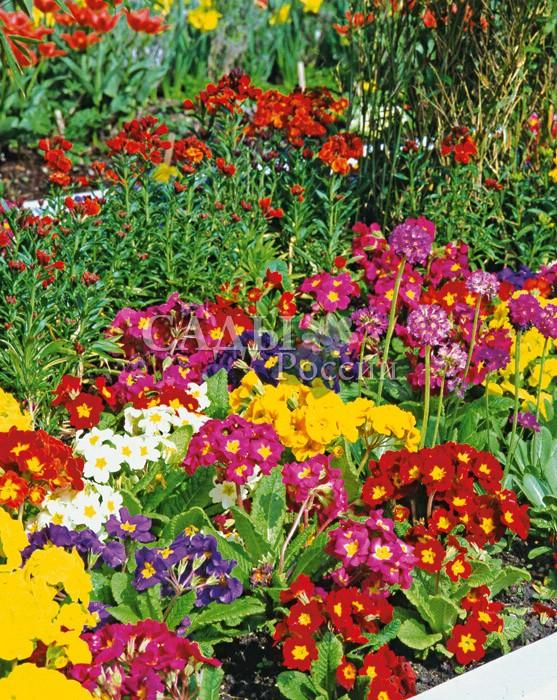Примула Колоссеа яркий наборМноголетники<br>Яркий<br>орнамент из многоцветковых гибридных форм примулы высокой.<br>