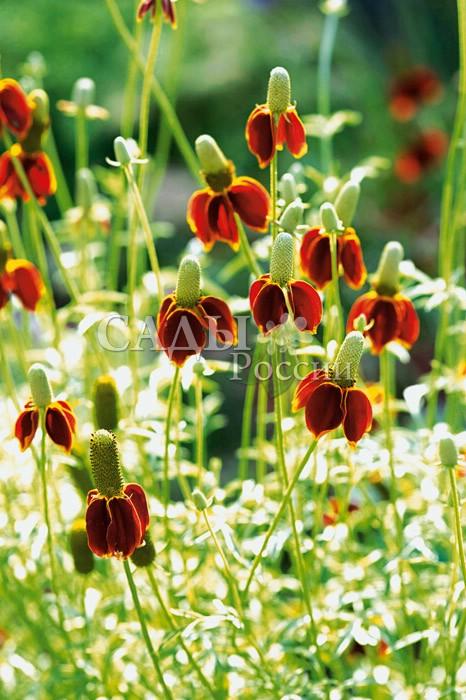 Ратибида Мексиканская шляпаМноголетники<br>Необычные соцветия «сомбреро» с высокой тульей (2—3 см) в<br>центре и опушёнными полями-лепестками длиной 1—3 см.<br>