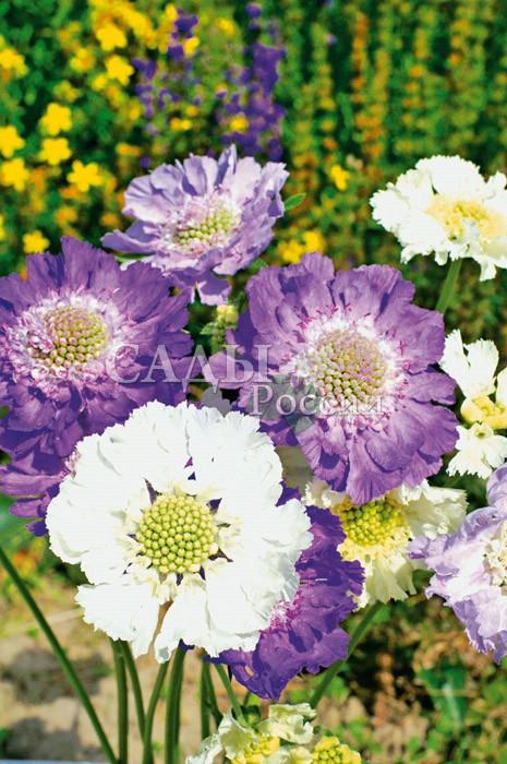 Скабиоза Дом Исаака наборМноголетники<br>Прелестный многолетник с крупными до 10 см в диаметре<br>красивыми и выразительными нежными голубовато-лиловыми<br>и белыми цветками на прочных прямых цветоносах.<br>