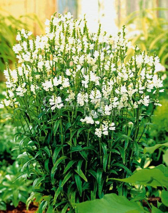 Физостегия Виргинская БелаяМноголетники<br>Искрящиеся белизной стройные, до 30 см длиной, колосовидные<br>соцветия изящных, похожих на львиный зев, цветков.<br>