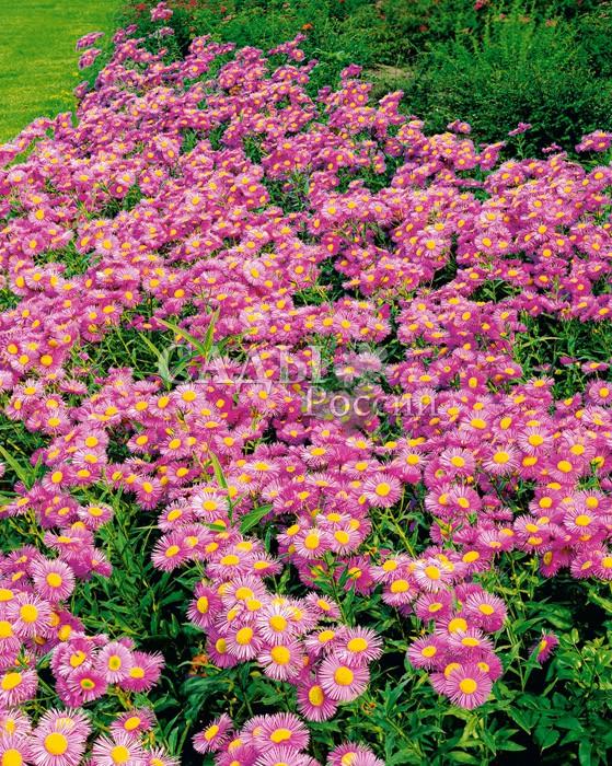 Эригерон Розовое сокровищеМноголетники<br>Красив на загляденье, идеальная копия многолетней астры. Соцветия-корзинки открытые с нежно-сиреневыми<br>трехрядными краевыми лепестками и жёлтым центром.<br>