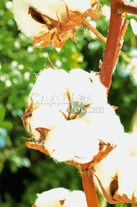 Хлопчатник травянистыйКомнатные растения<br>Это растение способно удовлетворить интерес любознательных «юных<br>натуралистов» и помочь им увидеть воочию, как растет хлопчатник — растение знойных азиатских тропиков.<br>