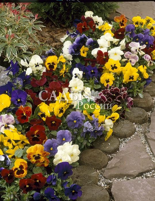 Виола Ералаш наборДвулетники<br>Великолепные крупноцветковые гибриды фиалки трёхцветной самых<br>разнообразных ярких окрасок.<br>