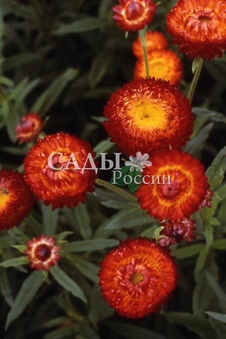 Гелихризум СкарлеттСухоцветы<br>Цветы, красота которых не увядает. Один из самых<br>красивых сухоцветов (в переводе – золотое солнце).<br>