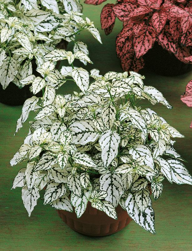 Гипоэстес Брызги БелыйКомнатные растения<br><br>
