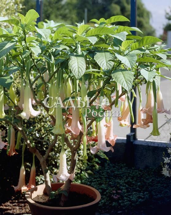 Датура розоваяКомнатные растения<br><br>