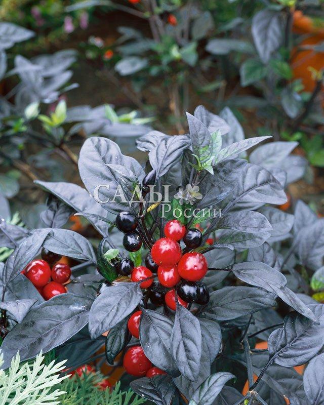 Перец Пеппа Чёрная жемчужина декоративныйКомнатные растения<br>Интересна супернасыщенным глянцево-чёрным цветом биологически<br>спелых плодов, в технической спелости они тёмно-красные.<br>