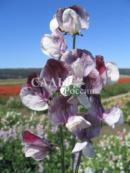 Душистый горошек ШоколадЛианы<br>В лепестках этих элегантных красивых<br>цветков вся прелесть ароматов и шоколадных оттенков.<br>