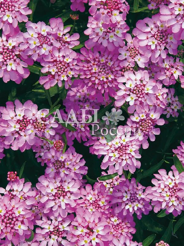 Иберис Шоколадная Конфетка розовыйОднолетники<br>Аметистовое кружево во всём своём благородстве.<br>