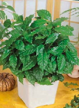 Кофе арабика НанаКомнатные растения<br>Карликовая разновидность кофе арабика неплохо адаптировалась к комнатным условиям.<br>