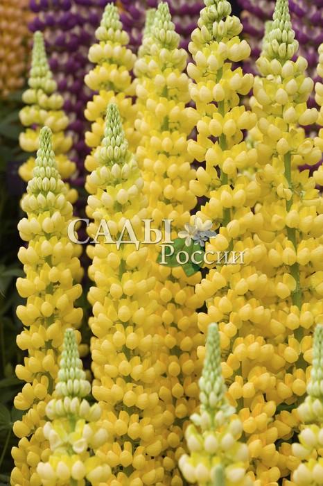 Люпин Жёлтый КанделябрМноголетники<br>Светящиеся чистым золотом огромные соцветия с тонким нежным ароматом белой акации.<br>