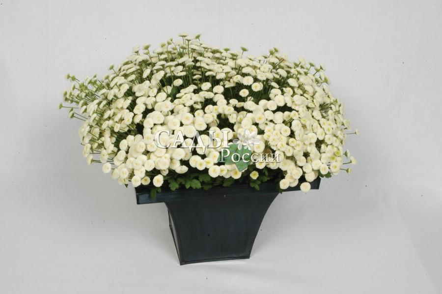 Пижма девичья Вегмо СнежокМноголетники<br>Окультуренная садовая форма, цветущая практически всё лето, до поздней осени.<br>