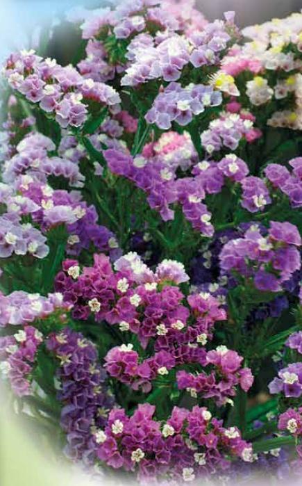 Статица Сиреневый туман наборСухоцветы<br>Изысканные мягкие пастельные оттенки молочно-розового, нежных лепестков ночной фиалки, <br>лавандовые, лёгкие пурпурно-малиновые, лиловые.<br>