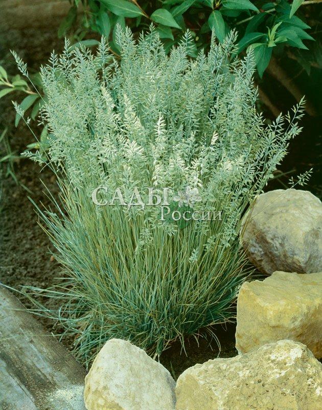 Тонконог сизыйЗлаки<br>Изящный вечнозелёный злак с плотной розеткой сизовато-зелёных<br>листьев и густой пышной метёлкой.<br>