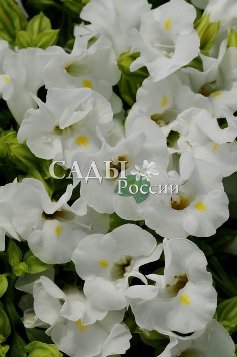 Торения Кауай белаяКомнатные растения<br>Бесподобна, как невеста в подвенечном платье.<br>