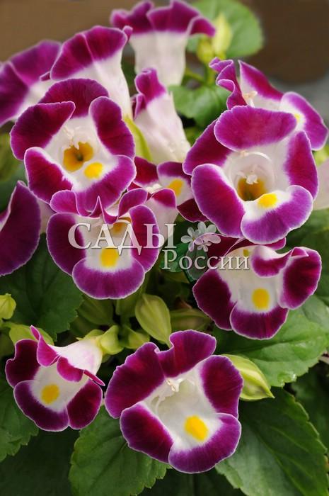 Торения Кауай бургундиКомнатные растения<br>Очарование свежести.<br>