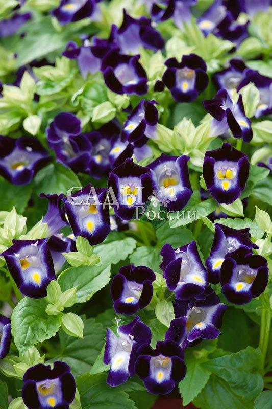 Торения Кауай тёмно-голубаяКомнатные растения<br>«Колдовское озеро, голубой магнит».<br>