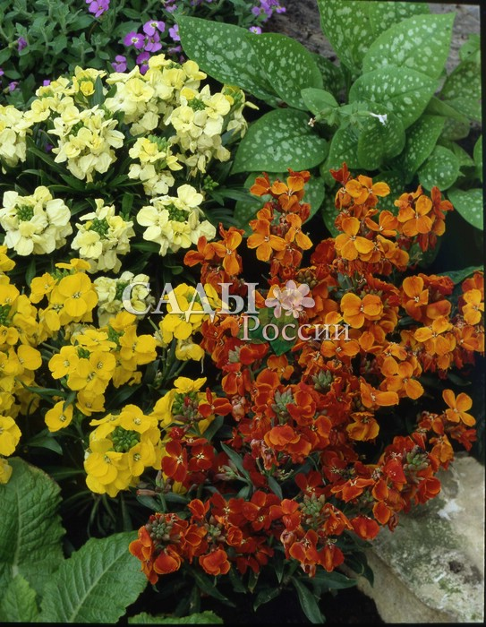 Хейрантус Хоровод наборДвулетники<br>Звонкое жёлто-оранжевое попурри<br>тёплого лета.<br>