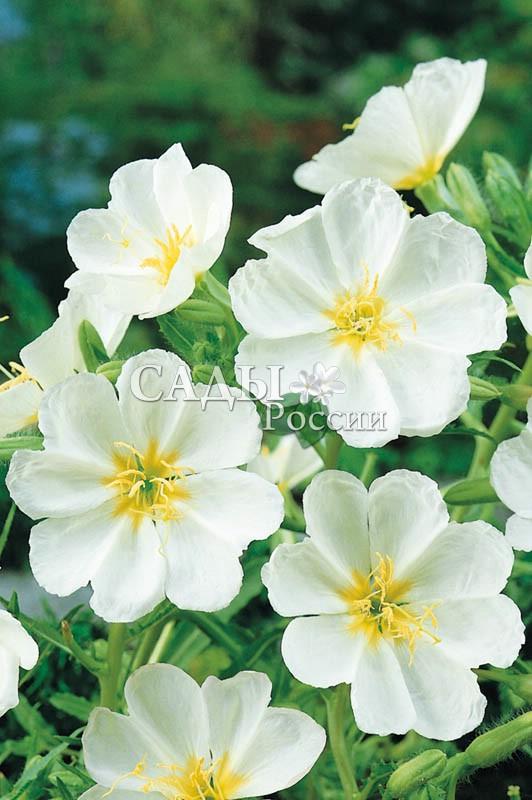 Энотера БелаяОднолетники<br>Растение-сказка.<br>