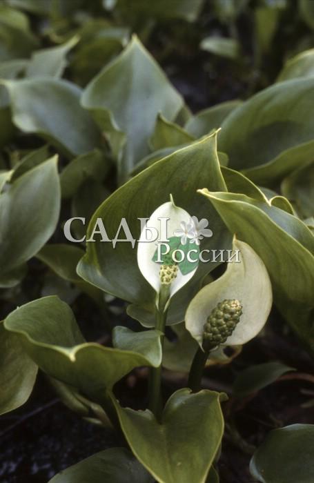 Белокрыльник БолотныйСокровищница Дальнего Востока<br>Дикий родственник изящной элегантной каллы, с любовью называемой цветком невесты.<br>
