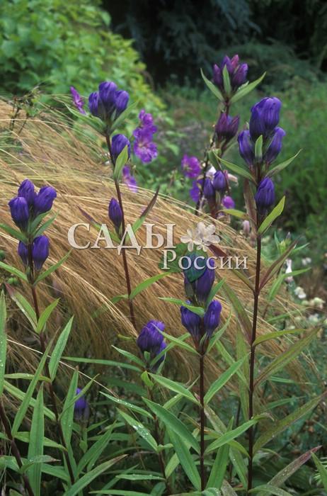 Горечавка ТрёхцветковаяСокровищница Дальнего Востока<br>Невысокие, до 5 см, стебли несут крупные, до 3 см длиной, колокольчатые<br>синие цветки счастья. Цветёт в мае-июле.<br>