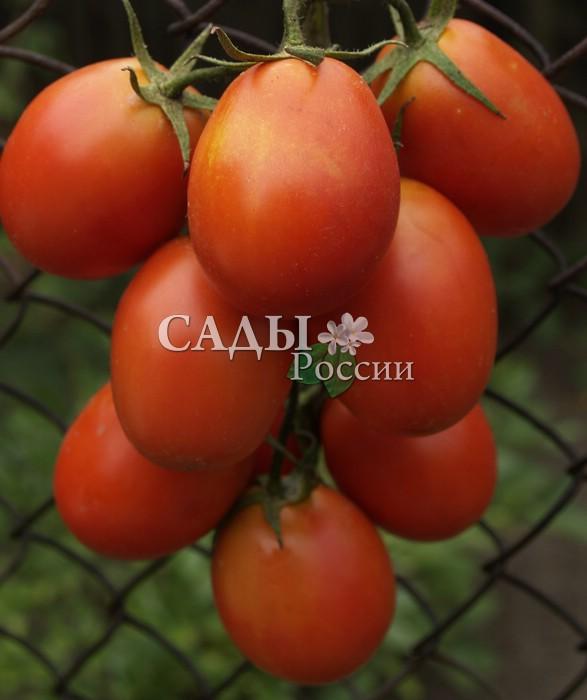 Помидоры Застольный F1Помидоры для открытого грунта<br>Маленький, но очень важный помидорчик, ни одно застолье без<br>него не состоится.<br>
