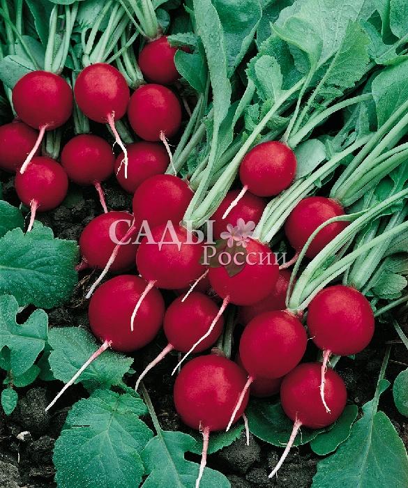 Редис Черриэт F1Редис<br>Хорош на загляденье. Корнеплоды насыщеннокрасные, выровненные, крупные, 3-6 см в диаметре, без пустот, плотные, сочные, готовы уже<br>через 18-20 дней после появления всходов.<br>
