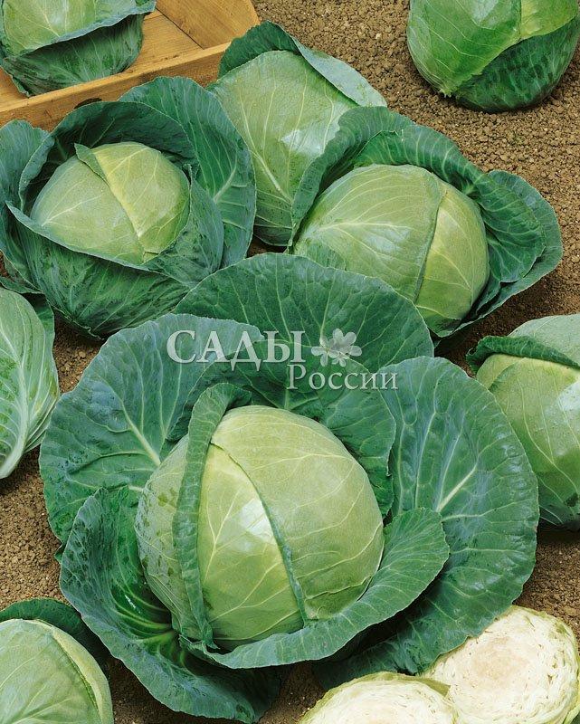 Капуста Бурбон F1 белокочаннаяКапуста белокочанная ранняя<br>Один из самых урожайных среди ранних гибридов для свежего<br>употребления.<br>
