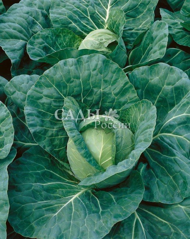 Капуста Магнус F1 белокочаннаяКапуста белокочанная ранняя<br>Очень привлекательный ранний гибрид с выровненными<br>ярко-зелёными компактными кочанами весом 1-2 кг,<br>которые, как яркие изумрудные жемчужины, спрятаны в<br>тёмно-зелёных укрывных листьях.<br>