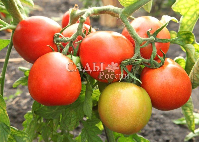 Помидоры Зенит F1Помидоры-Чудо<br>Идеальный салатный помидор подходит в числе первых, на 95—100-й<br>день после всходов, зреет на корню и долго не залёживается на столе.<br>