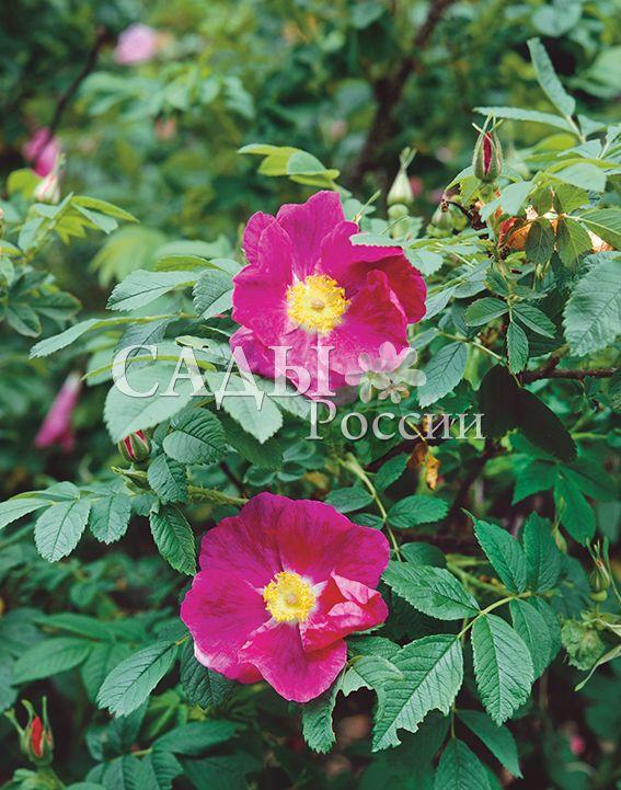 Роза МорщинистаяДекоративные деревья, кустарники, лианы<br>Эту дикую красавицу<br>легко отличить среди множества нарядных шиповников по<br>густым шипам и щетинкам, плотно укрывающим побеги, и<br>морщинистым, «гофрированным», листьям.<br>