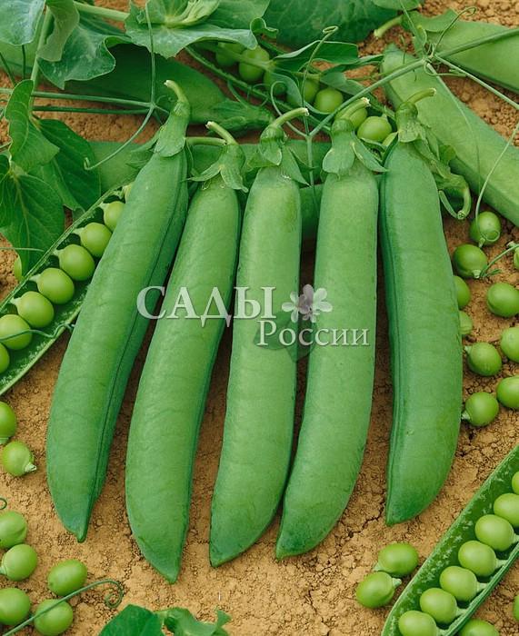Горох Женева F1Горох<br>Великолепный высокопродуктивный среднеспелый сорт с сине-зелёными листьями, оживляющими однотонные овощные грядки. Стебель<br>от средней длины до длинного, высота прикрепления нижних бобов<br>48 см.<br>