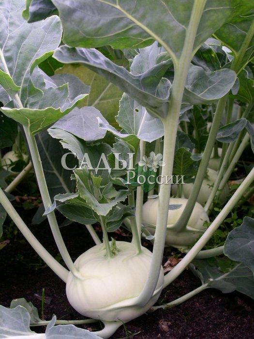 Капуста Едер p3 F1 кольрабиКапуста кольраби средняя<br>Среднеспелый гибрид, гармонично сочетающий в себе высокую товарность и урожайность, отличные вкусовые качества и устойчивость<br>стеблеплода к одревеснению.<br>