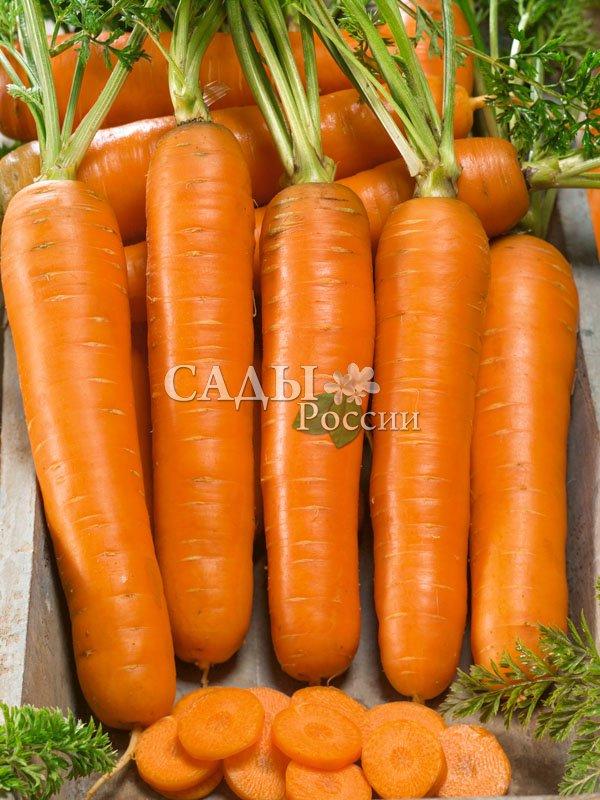 Морковь Концерто F1Морковь-Чудо<br>Не менее привлекательный, чем его коллега и соратник Престо. Рекомендуется для ранних весенних посевов, период от полных всходов до<br>уборки 90—95 дней.<br>