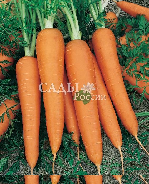 Морковь Лидия F1Морковь-Чудо<br>Исключительный, сбалансированный вкус. Среднеранний гибрид, от<br>появления полных всходов до уборки 90 дней.<br>