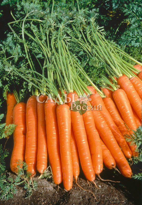 Морковь Наталья F1Морковь-Чудо<br>Великолепный среднеспелый гибрид-красавец. Корнеплоды цилиндрические, очень гладкие, выровненные, все как один, насыщенного яркооранжевого цвета.<br>