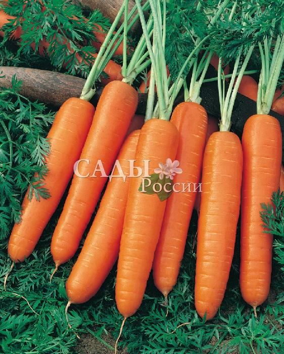 Морковь Нелли F1Морковь-Чудо<br>Раннеспелый, очень пластичный гибрид, названный именем Нелли Илларионовны Жидковой — талантливого, самоотверженного и бесконечно влюблённого<br>в своё дело селекционера моркови.<br>